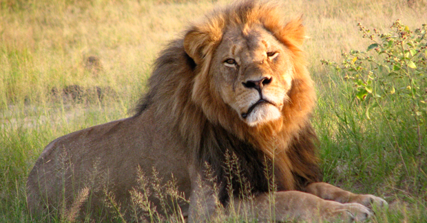 Cecil_the_lion_at_Hwange_National_Park